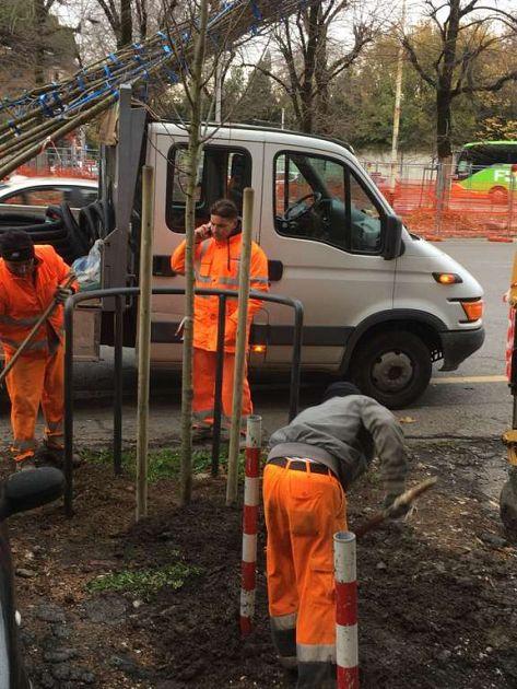 Cominciata la messa dei nuovi alberi nei viali belfiore - Alberi adatti per viali ...