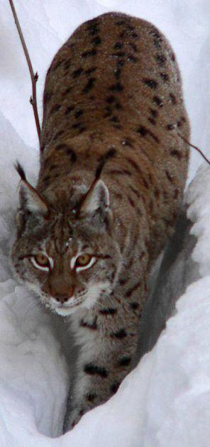 Gatto Selvatico E Lince Un Convegno Dal 7 Al 9 Novembre Nel Parco